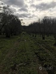 Terreno di nocciole e uliveto- Faleria (VT)