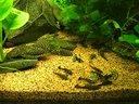 Pesce pulitori, lumache Helena ( killer)