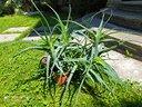 Pianta grassa ornamentale Aloe