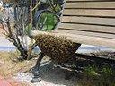 Recupero sciami di api
