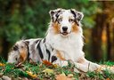 Australian Shepherd femmina blue o red merle