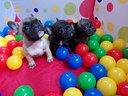 Cucciolo Bulldog Francese Cuccioli Bouledogue EXPO