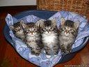 Gatto Siberiano cuccioli disponibili