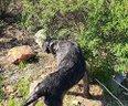Drahthaar cani da ferma Cuccioli in arrivo