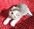 scottish-fold-cuccioli-silver