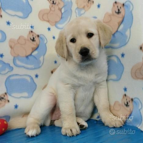 Labrador retriever femmina