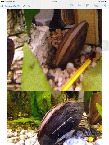 Molluschi filtranti d'acqua dolce