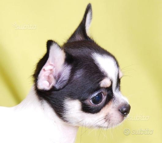Femmina bella testolina chihuahua cucciolo