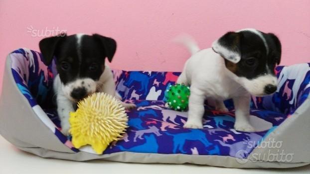 Cucciolo Jackino :) tricolore