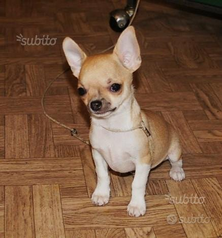 Chihuahua maschietto bianco e beige