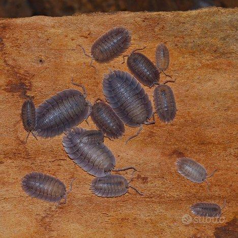 Disponibilità di Porcellio spatulatus
