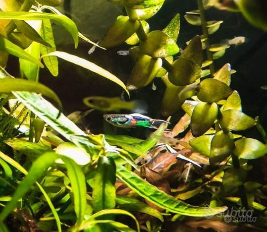 Pesci d'acqua dolce - endler - poecilia wingei