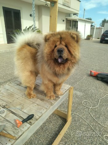 Stallone chow chow