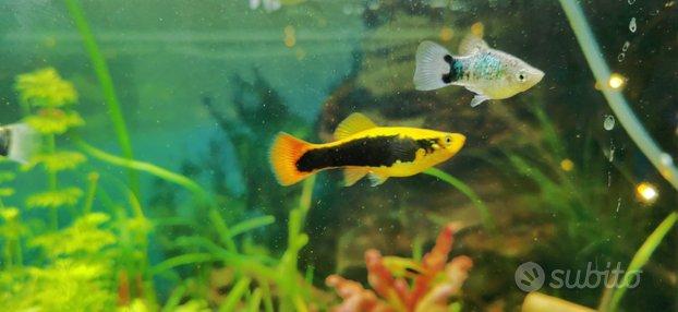 Esubero platy - pesci - acquario acqua dolce
