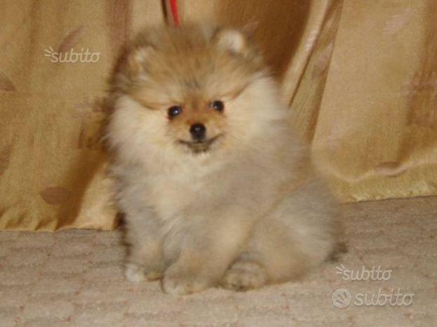 Cucciolo Spitz nano rosso femmina