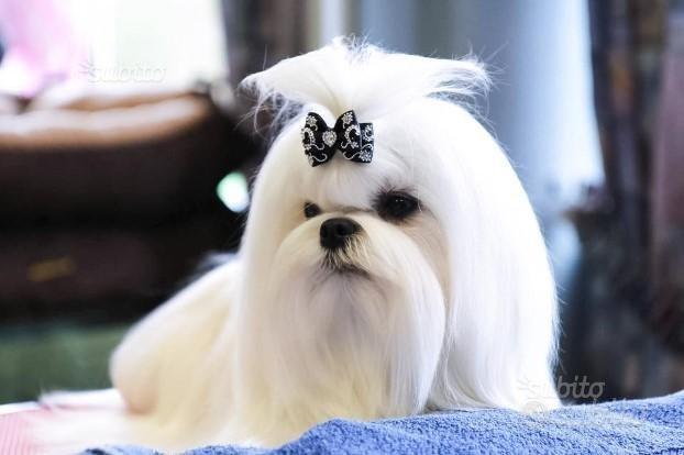 Maltese maschio cucciolo