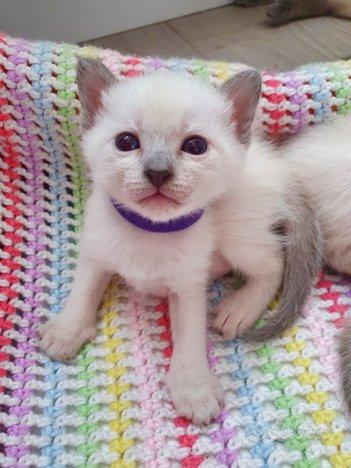Siamesi cuccioli pedigree scottish siberiani gatti