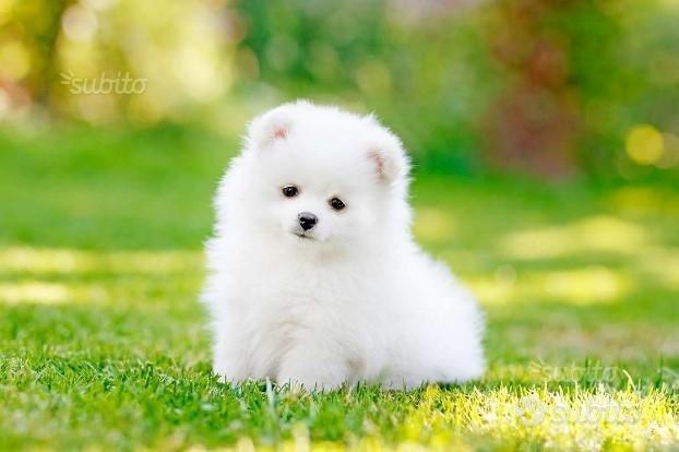 Cucciolo spitz bianco femmina
