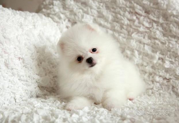 Cucciolo maschio di spitz bianco