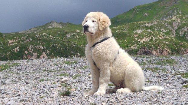 Cuccioli RARI Cane Montagna Pirenei Pedigree