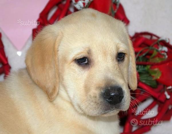Cucciolo di labrador maschio spettacolo