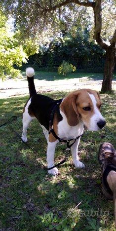 Beagle per accoppiamento