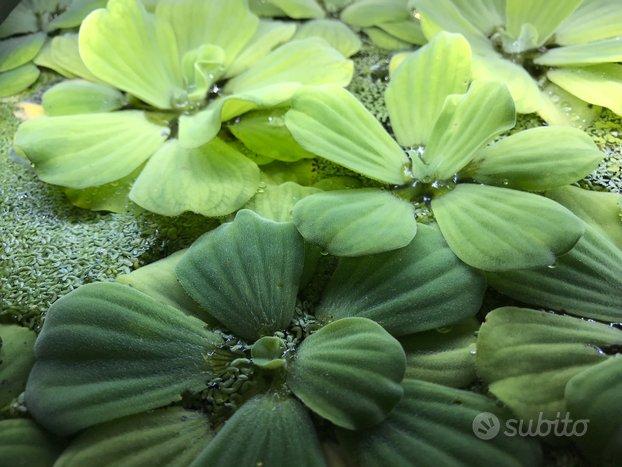 Pistia Stratiotes - pianta galleggiante acquario