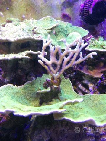Coralli acquario marino