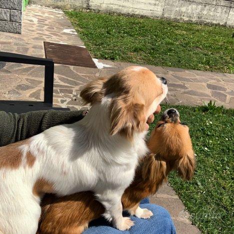 Chihuahua stallone PL pedigree x accoppiamento