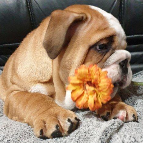 Bulldog inglese femmina