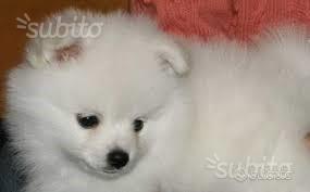 Cucciolo di spitz bianco femmina