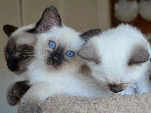 Cuccioli di gatto siamese thai pura razza ALLEVATI