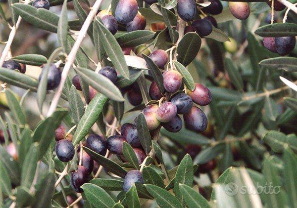 Uliveto con 152 piante