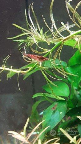 Red cherry e guppy