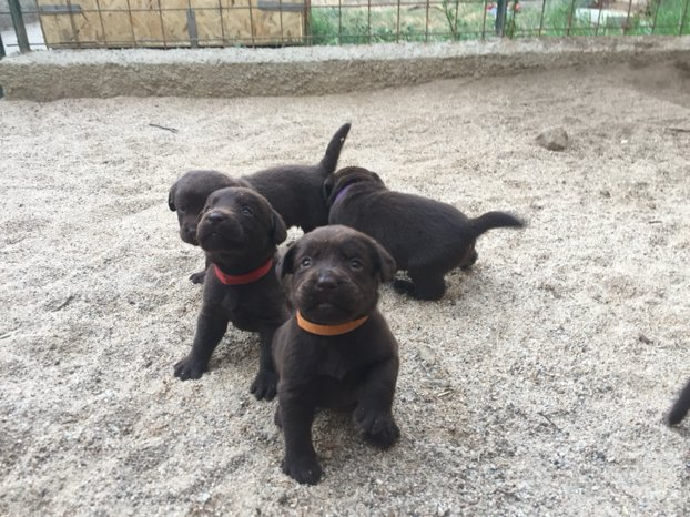 Cucciolata di Labrador Retrivers Choccolate