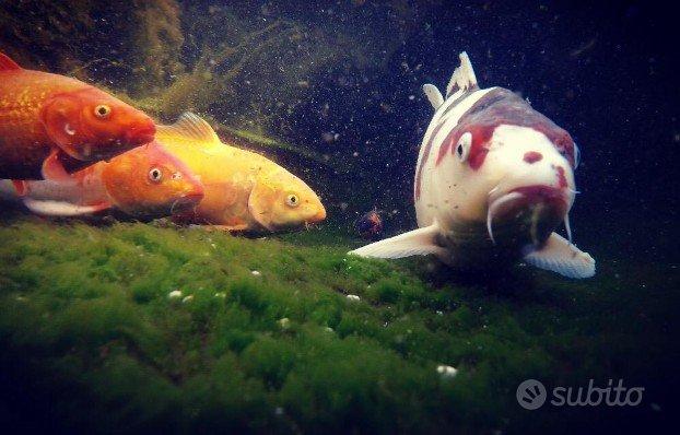 Carpe koi,pesci rossi, gambusie, medaka