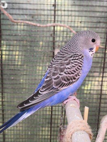 Cocorite Papagali
