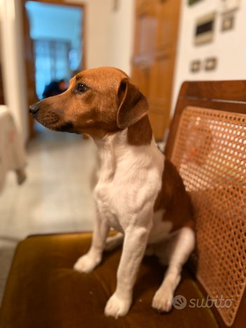 Jack Russell Terrier maschio per monta