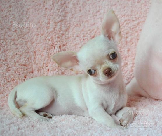 Chihuahua cucciolo maschietto