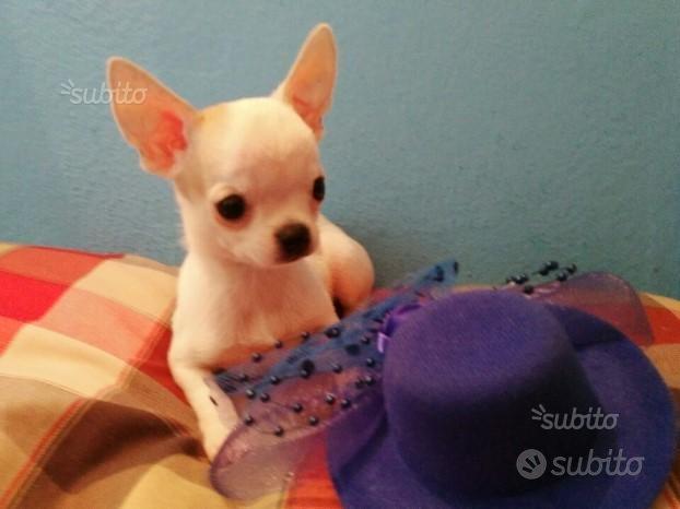 Chihuahua maschietto