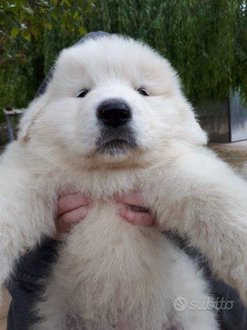 Cucciolo cane pastore maremmano abruzzese