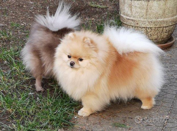 Toelettatura cani taglia piccola