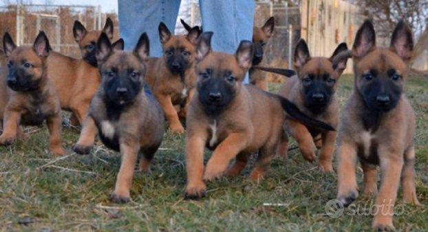 Cuccioli di Pastore Belga Malinois