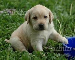 Labrador cucciolo maschio