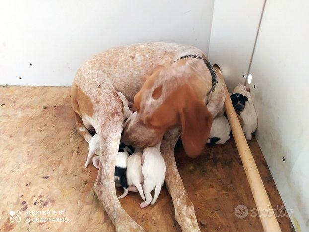 Cuccioli di Bracco/Pointer da Tartufo