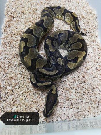 Pitone Reale Pitone Palla Serpente 1