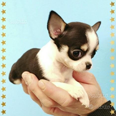 Cucciolo di chihuahua mini toy femmina