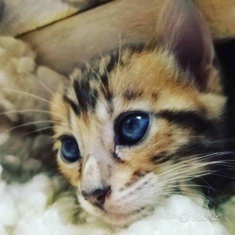 Gatto del Bengala - Occhidellegatte