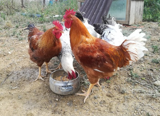 Polli ruspanti