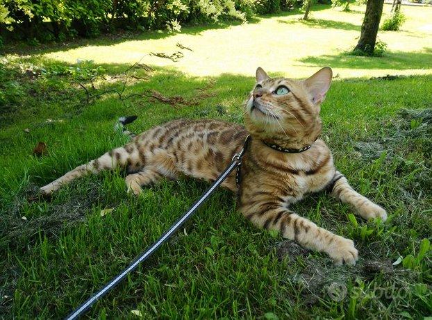 Gatto Bengala maschio disponibile per monte